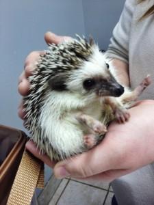 Sadie - Hedgehog